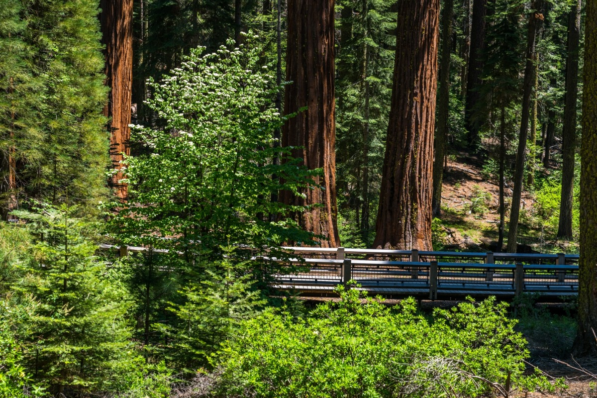 Giant Sequoias standout among the other trees in the Mariposa Grove