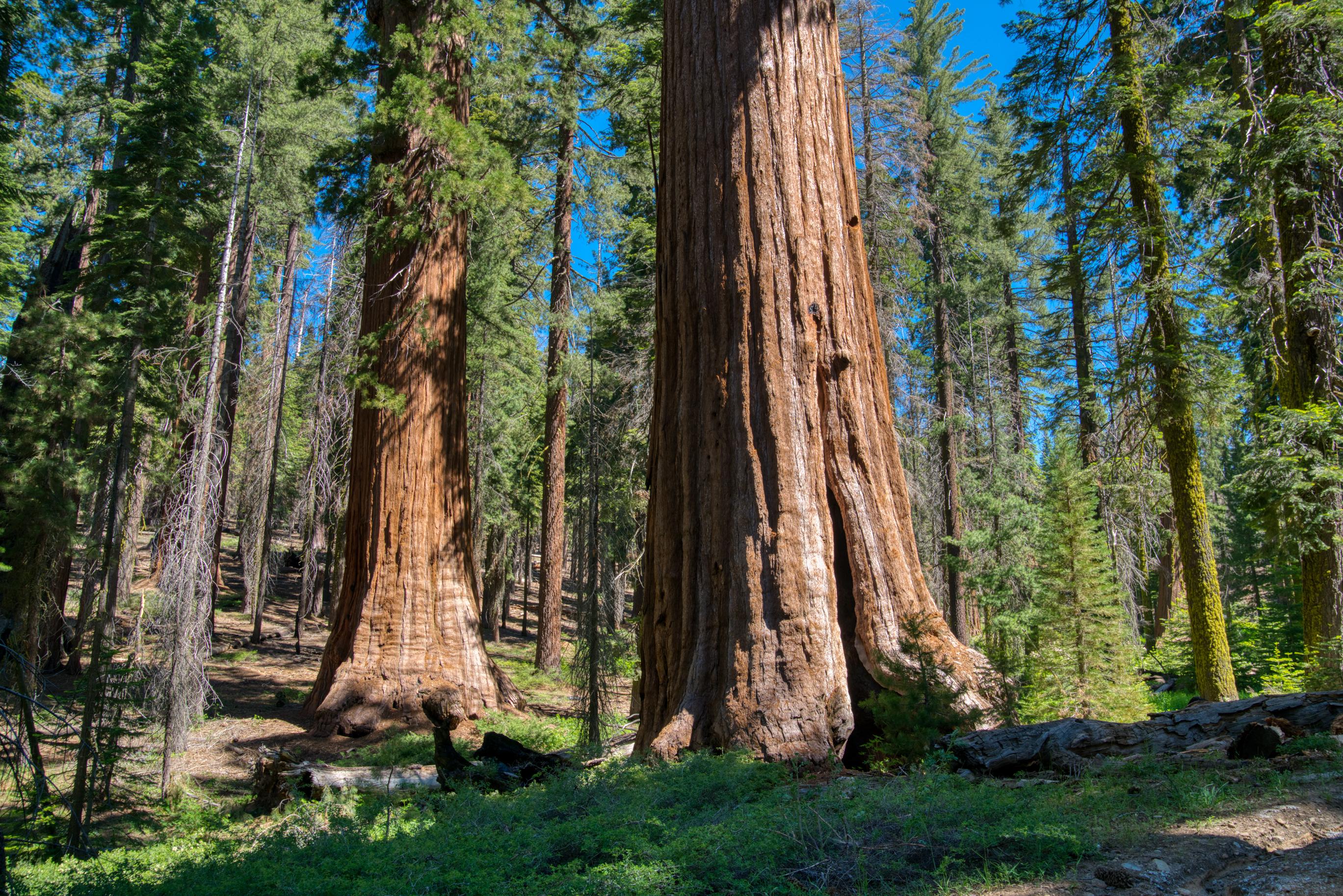 Mariposa Grove, Giant Sequoias, Hiking, Yosemite National Park