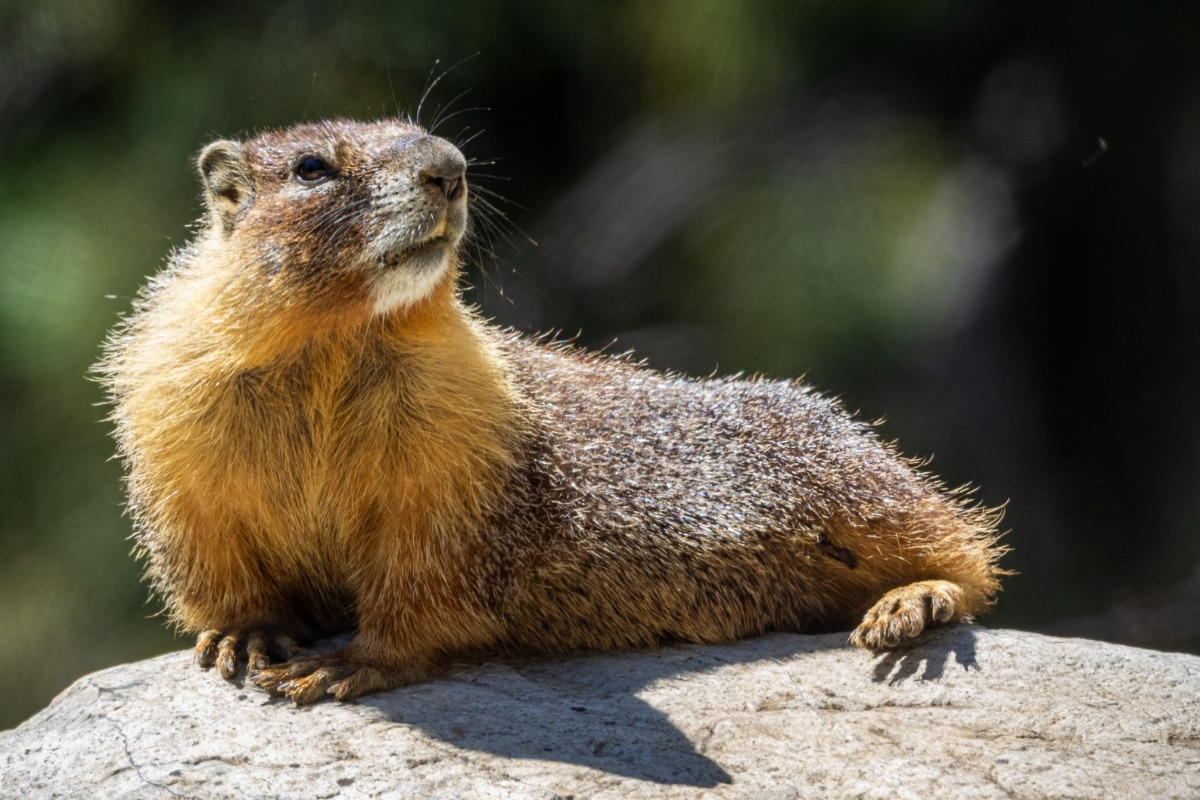 wildlife, marmot, Sierra National Fores, Sierra Nevada, mammal