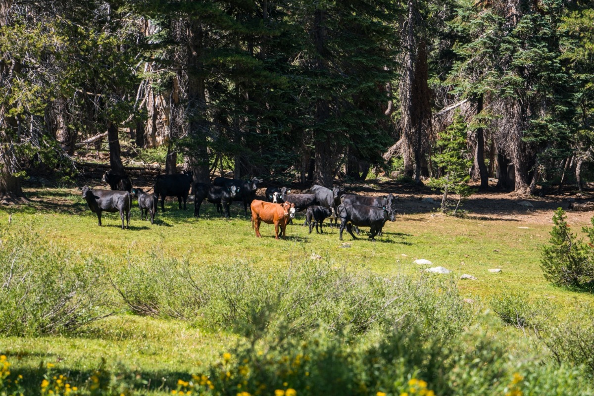 meadow. cattle, cows, live stock, grazing, high sierra, Sierra Nevada, Sierra National Forest,