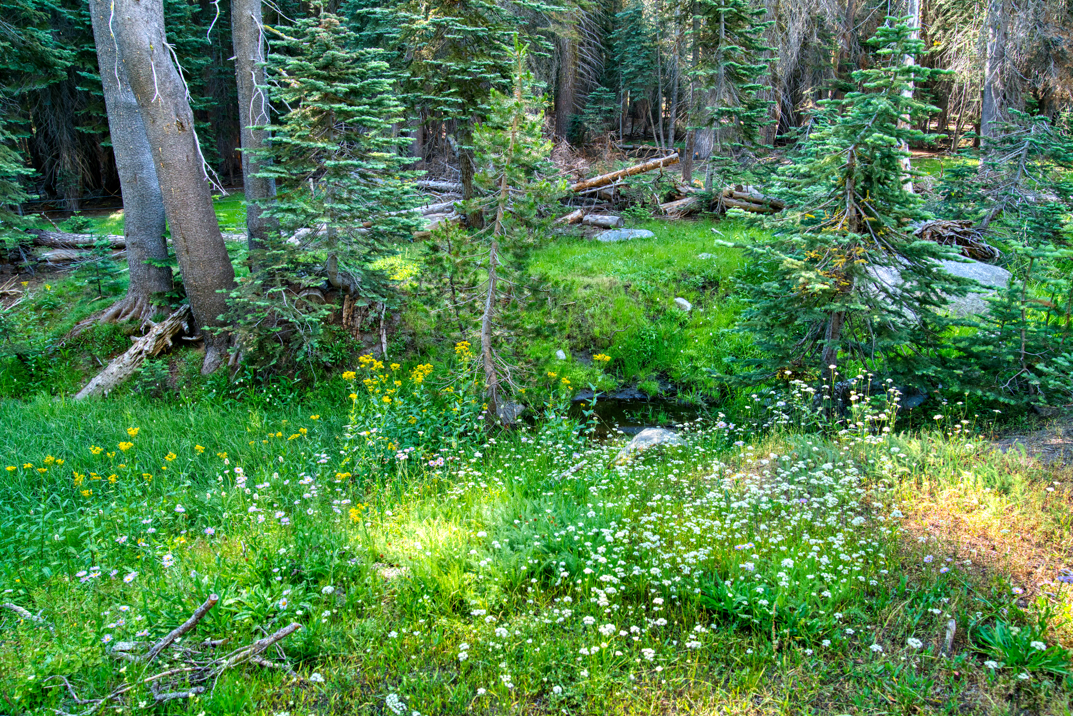 meadow, high sierra, sierra nevada, wildflowers