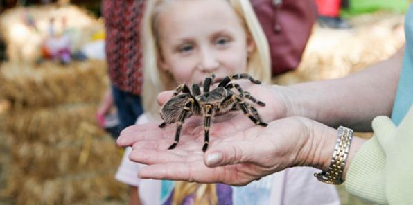 Tarantula, spider, fall, autumn, festival, Coarsegold