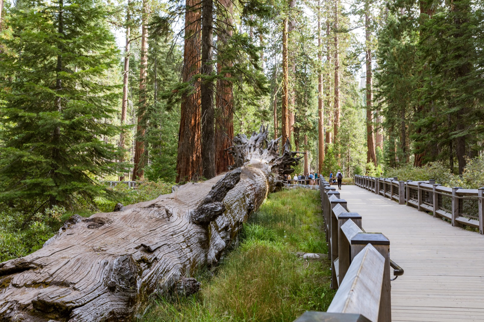 Fallen Monarch in the Mariposa Grove of Giant Sequoias, Yosemite National Park