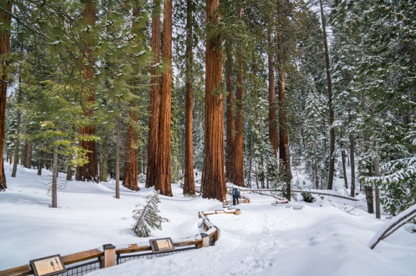 Snowshoeing in Mariposa Grove of Giant Sequoias