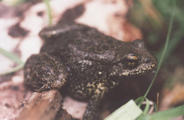 Sierra-Nevada Yellow Legged Frog