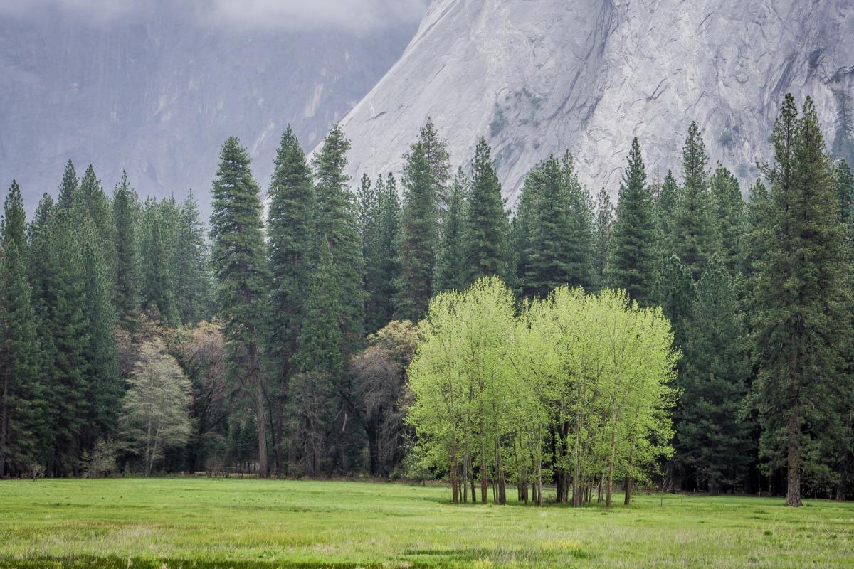 Cottonwoods in Yosemite's Ahwahnee Meadow