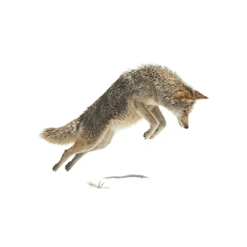 Coyote Mousing in Yosemite National Park