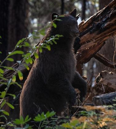 Bear in Yosemite by Yosemite Landscape