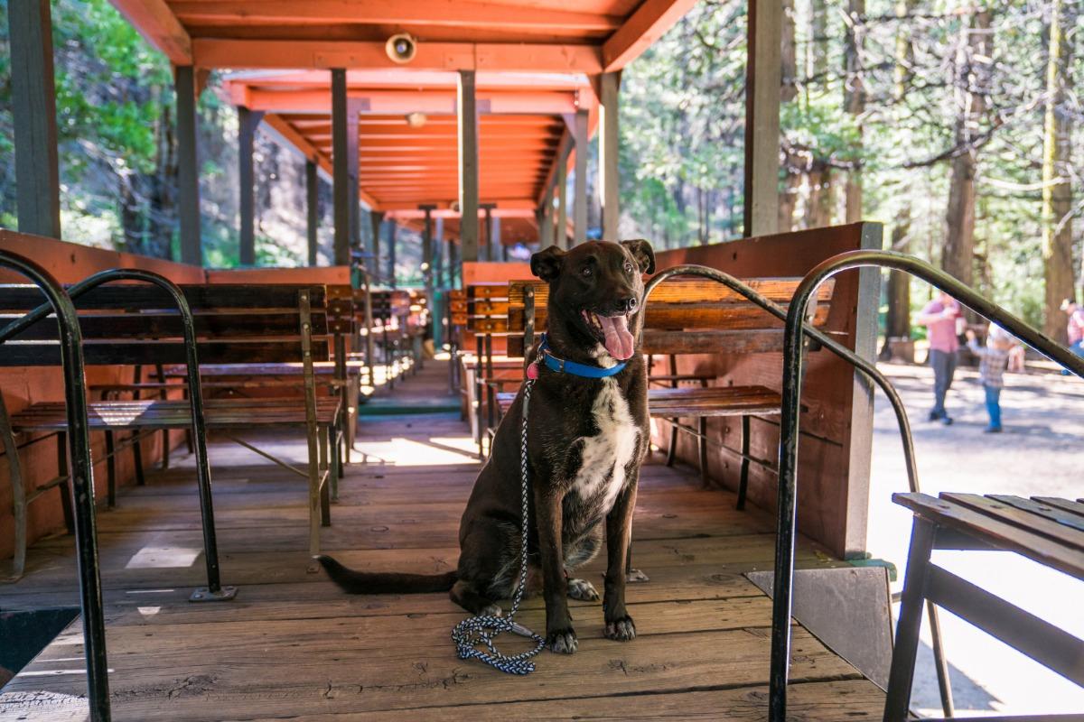 Big Dogs love riding the Yosemite Mountain Sugar Pine Railroad