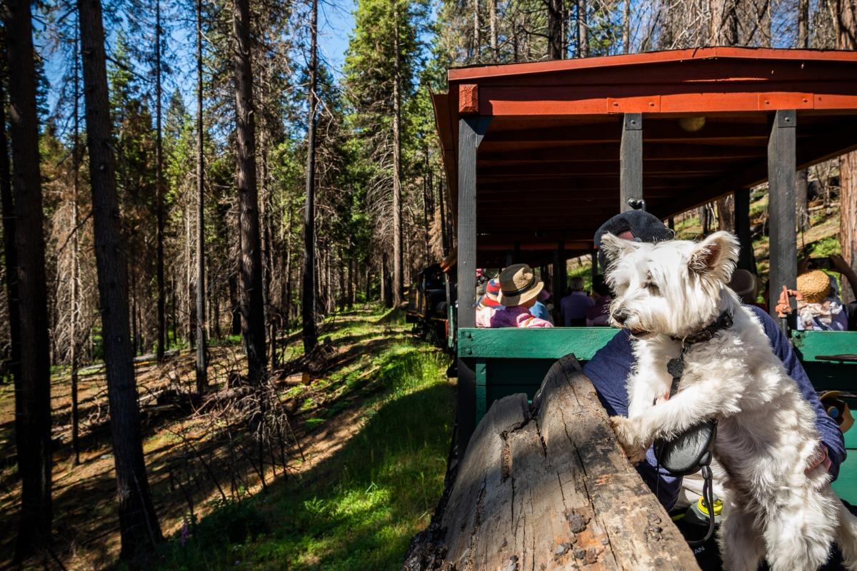 Little dogs love riding the Yosemite Mountain Sugar Pine Railroad