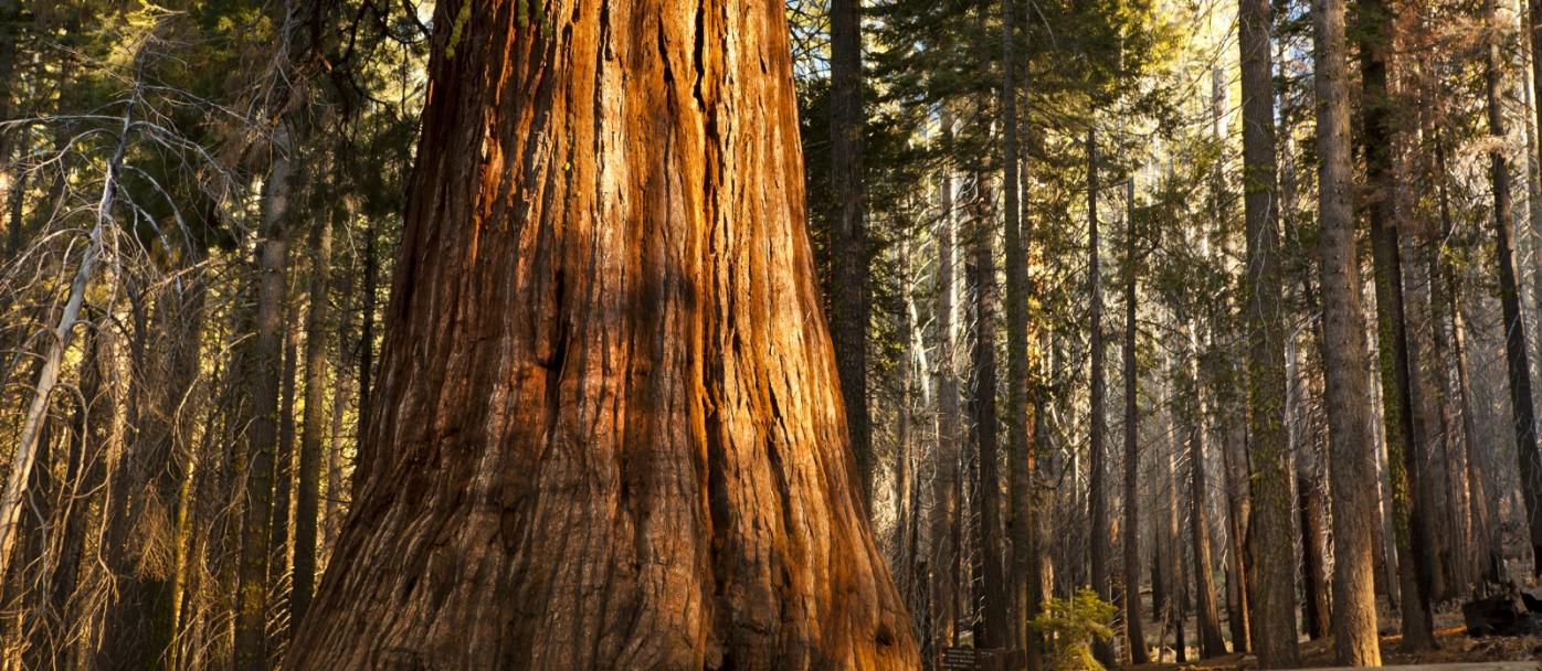 Giant Sequoia - Sequoia National Park