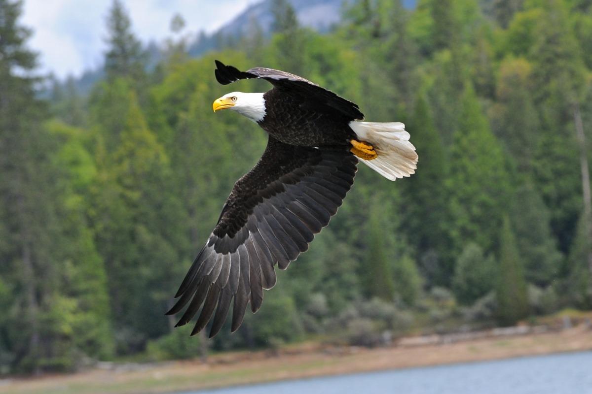 Bald Eagle at Bass Lake California