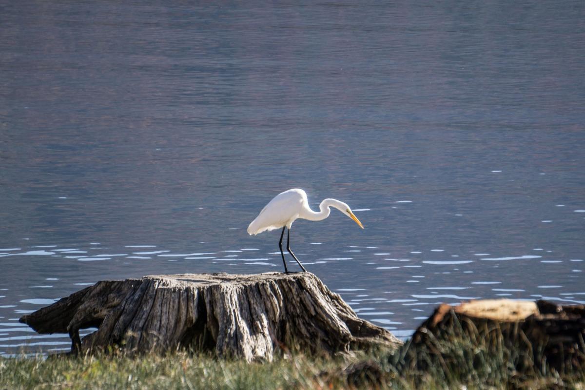 Egret on the shore of Bass Lake California